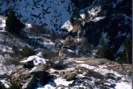 Gypaète barbu, adulte, en vol dans les gorges du Doron de Termignon