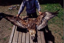 Récupération d'un Aigle royal, femelle, trouvée morte à Bramans