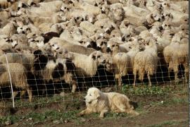 """Chien de protection, berger des Pyrénées dit """"patou"""" devant un troupeau de moutons"""