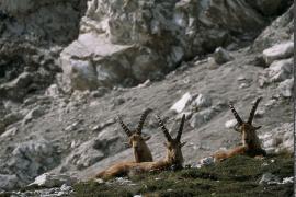 Groupe de bouquetins des Alpes, mâles, au repos