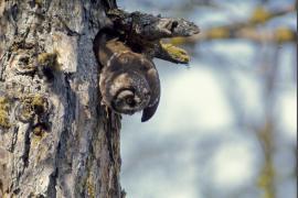 Chouette de Tengmalm sortant de son nid dans le tronc d'un mélèze.