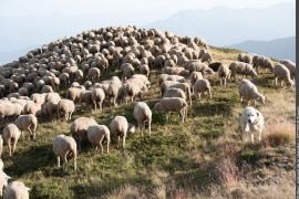 Troupeau de moutons, en pâture, patou sur la droite