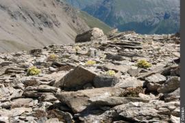 Touffes de saxifrage fausse mousse dans un éboulis de schistes
