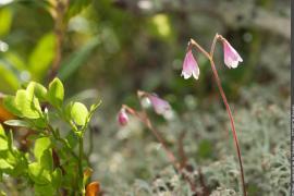 Linnée boréale en fleurs