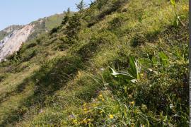 Exemple de pelouse à seslerie dominante, favorable à la reproduction du tétras-lyre