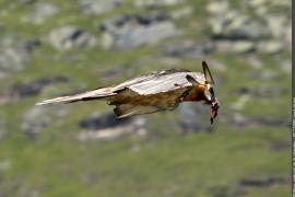 Gypaète barbu : adulte femelle en vol, tenant de la nourriture dans son bec à Bessans.