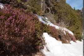 Bruyère des neiges en début de floraison dans une pinède à crochet