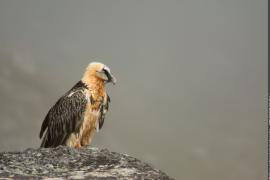 Gypaète barbu adulte posé sur un rocher dans le brouillard
