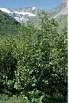 aulne vert