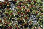 saule herbacé