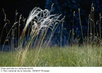 Stippe pennée de pelouse sèche